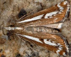 Catoptria corsicellus 2B 5