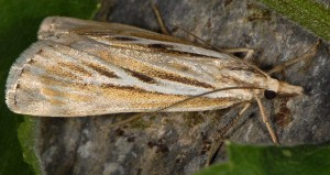 Catoptria digitellus 66 2