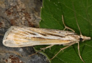 Catoptria digitellus 66 3