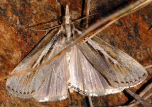 Catoptria digitellus 66 4