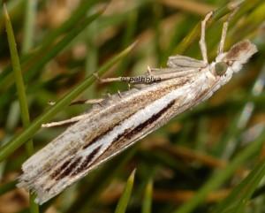Catoptria digitellus femelle 65 1