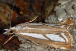 Catoptria europaeica 06 2