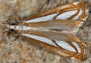 Catoptria europaeica 06 3