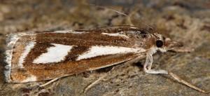 Catoptria luctiferella 06 1