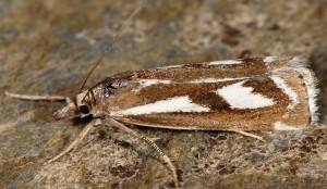 Catoptria luctiferella 06 2