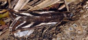 Catoptria luctiferella 38 2