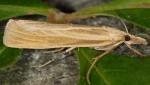 Catoptria lythargyrella 06 2