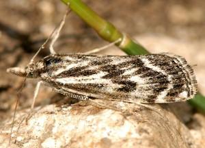 Catoptria muellerrutzi 06 1