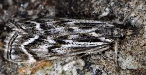 Catoptria muellerrutzi 06 4