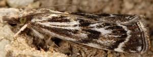 Catoptria muellerrutzi 38 1