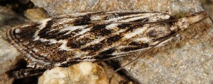 Catoptria muellerrutzi 38 2