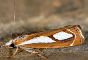Catoptria mytilella 06 1