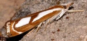 Catoptria mytilella 34 1