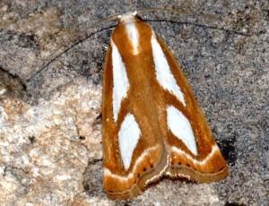 Catoptria mytilella 34 2
