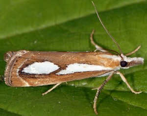 Catoptria mytilella 66 1