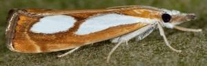 Catoptria pinella 06 2