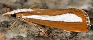 Catoptria pyramidellus 38 1