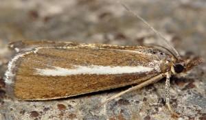 Catoptria radiella 06 1