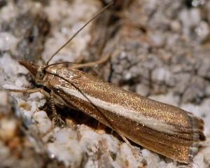 Catoptria radiella 06 2