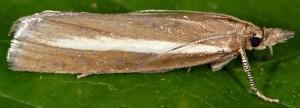 Catoptria radiella 06 3