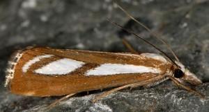 Catoptria speculalis 05 1