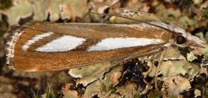 Catoptria speculalis 05 2