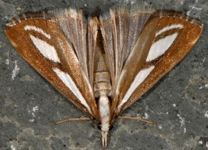 Catoptria speculalis 05 5