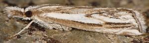 Catoptria staudingeri 66 1
