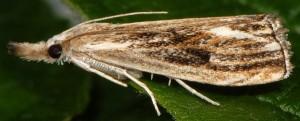 Catoptria verellus 38 1