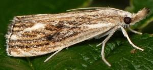 Catoptria verellus 38 2