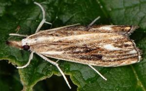 Catoptria verellus 38 3