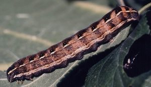 Cerastis rubricosa L5
