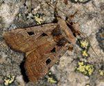 Chersotis andereggii (I)