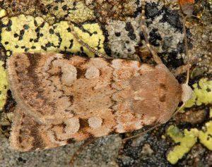 Chersotis cyrnea 3