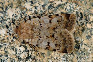 Chersotis cyrnea 4