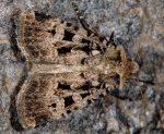 Chersotis multangula (I)