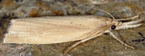Chilo phragmitella femelle 11 1