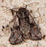 Chloantha hyperici (I, L5, P)