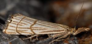 Chrysocrambus craterella 06 1