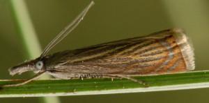 Chrysoteuchia culmella 06 1