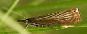 Chrysoteuchia culmella 06 2