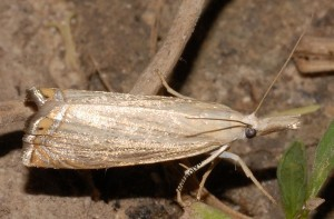 Chrysoteuchia culmella 34 1