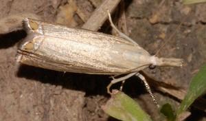 Chrysoteuchia culmella 34 2