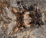 Cleoceris scoriacea (I)