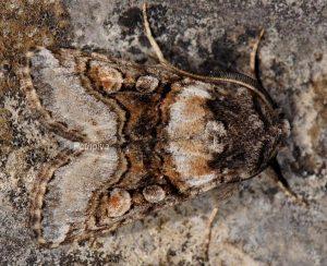 Cleoceris scoriacea 1