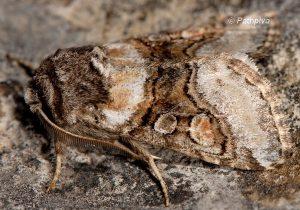 Cleoceris scoriacea 2