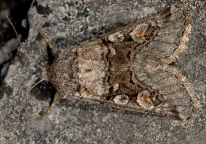 Cleoceris scoriacea 3