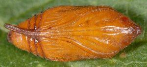 Cleonymia baetica p 1