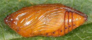 Cleonymia baetica p 2
