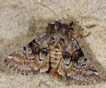 Cleonymia yvanii (I)